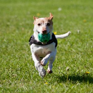 A dog running with his harness on and a ball in his mouth