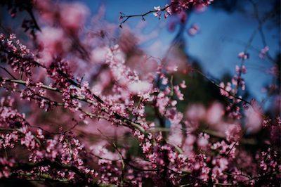 flowering-cherry-tree