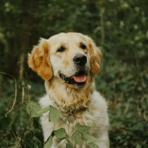 Golden Retriever dog in green bushes