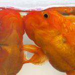 Two goldfish in a an aquarium
